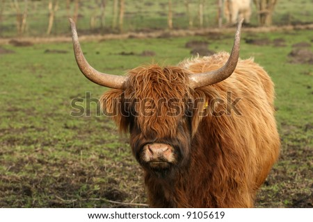 Highland cow with big horns