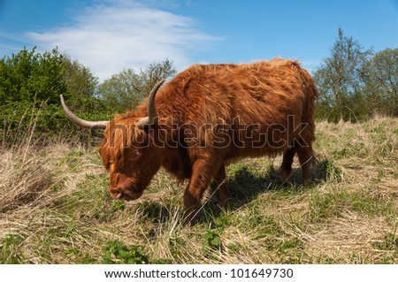 Highland cow with long horns and winter coat in a Dutch nature reserve. It is springtime.