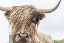 Highland Cow with wind blowingin hair