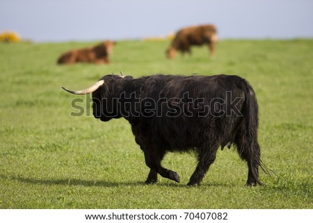 Highland cows, Aberdeen, Scotland