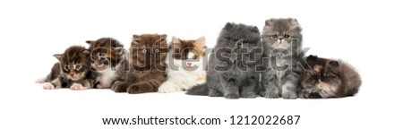 Highland straight and fold kittens, Maine coon kittens, Persian kittens, in front of white background #1212022687