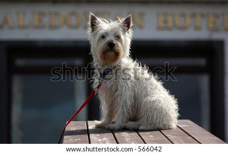 Highland Terrior sitting on table in Scotland