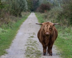Highlander cow standing in front of the road