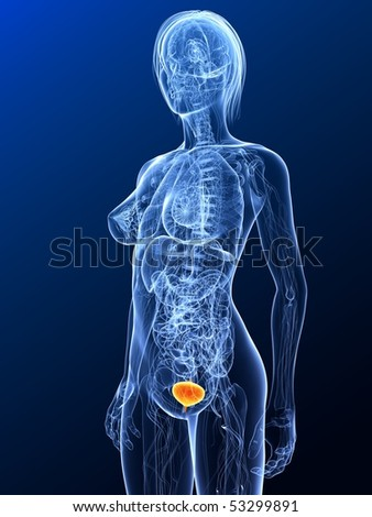 highlighted bladder - stock photo