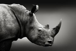 Highly alerted rhinoceros, black and white, monochrome portrait. Fine art, South Africa. Ceratotherium simum