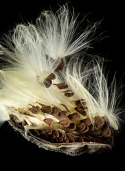 Highly detailed macro image of the seed pod from Swamp Milkweed flower Asclepias incarnata which has wispy windblown feathery strands attached to brown seeds that are carefully aligned in the shell