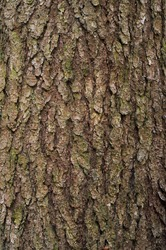 Highly detailed tree bark texture
