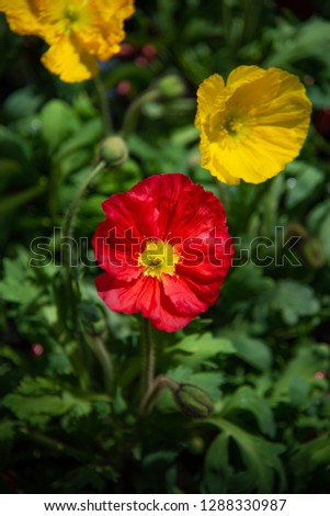 Highly Saturated Red and Yellow Iceland Poppies. Champagne Bubbles Poppies with Delicate Petals in Pots for Spring and Summer Landscaping and Gardens #1288330987