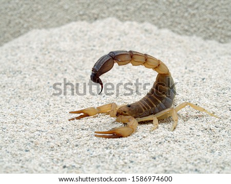 Highly venomous fattail scorpion, Androctonus australis, on sand, side view, closeup. This species from North Africa and the Middle East, is one of the most dangerous scorpions Stockfoto ©