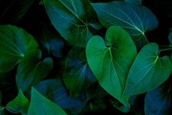 Hight angle view of Green Leaves Texture Background. tropical leaf
