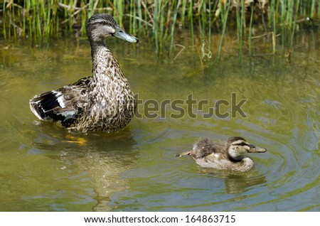 HIHI, NZ - NOV 23:Female Mallard duck and here duckling swim in a pond on Nov 232013. The mallard is one of the most recognized of all ducks and is the ancestor of several domestic breeds