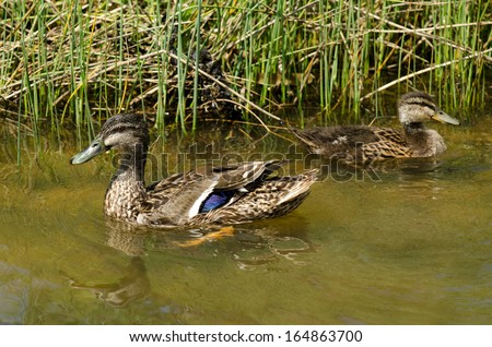 HIHI, NZ - NOV 23:Male and female Mallard ducks swim in a pond on Nov 232013. The mallard is one of the most recognized of all ducks and is the ancestor of several domestic breeds