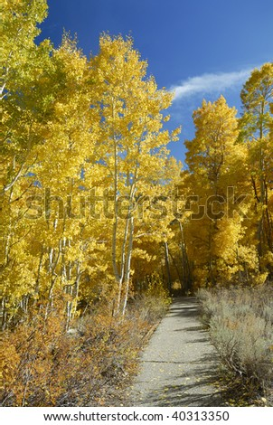 Hiking path through an aspen grove in autumn. Silver Lake, Sierra Nevada, California