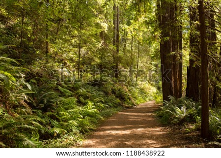Hiking path winds through towering redwood trees in late afternoon sunlight in Mendocino, California