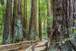 Hiking through the primeval redwoods in Muir Woods on a nice path