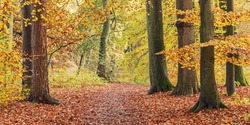 Hiking trail through a  temperate, deciduous forest with beeches in autumn foliage in Grosshansdorf, Schleswig-Holstein, Germany. Autumn landscape.
