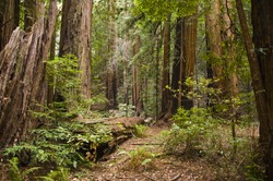 Hiking trails through giant redwoods in Muir forest near San Francisco California