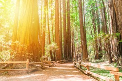 Hiking trails through giant redwoods in Muir forest near San Francisco - California, USA.