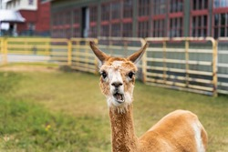 Hilarious photo of funny Alpaca staring at the camera at the Canadian Food and Agriculture museum, with yellow fence behind.