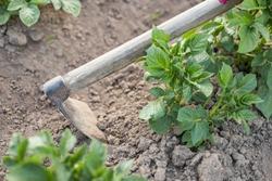 Hill Potato. Hand Of Female Gardener Hoe Potatoes On Potatoe Fields Close Up. Work On Potato Field.