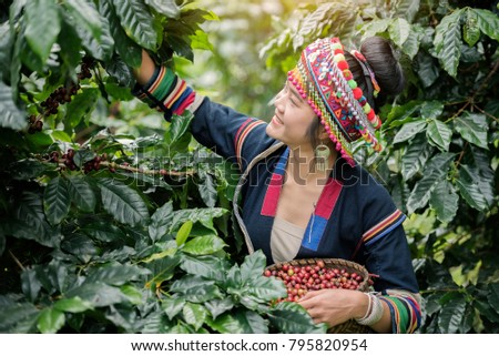 Hill Tribe Coffee Plantation,Akha Woman Picking Red Coffee On Bouquet On Tree,Coffee Product Of Hill Tribes.Northern Thailand