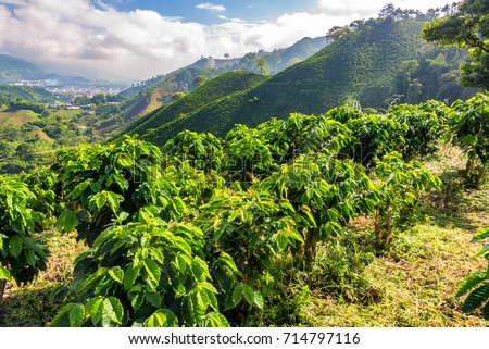 Hills covered in coffee plants near Manizales, Colombia