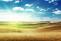 hills of barley in Tuscany, Italy