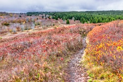 Hills trail path meadow on red, yellow, golden, orange autumn hike with bushes during cloudy, overcast, stormy weather in Dolly Sods, West Virginia with fall foliage