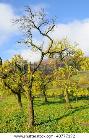 Hills with forest and trees in various colors in misty skies and vineyards in autumns in the Danube valley in the Wachau in Austria