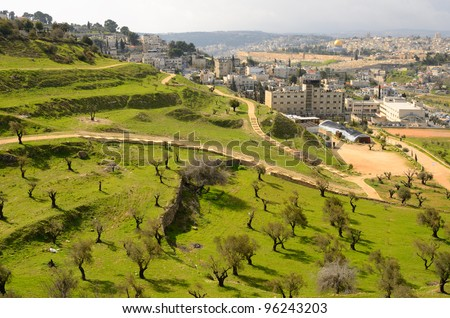 Hillside covered with olive trees in Jerusalem, Israel.
