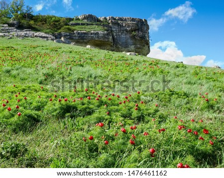 Hillside covered with thickets of flowering wild growing Paeonia tenuifolia, also known as narrow-leaved peony or steppe peony #1476461162