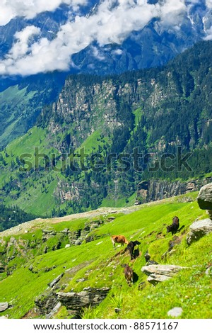 Himalaya mountains landscape with wild cows on meadow