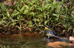 Himalayan Black-Lored Tit (Parus xanthogenys) bird talking bath in river body at Sattal, India