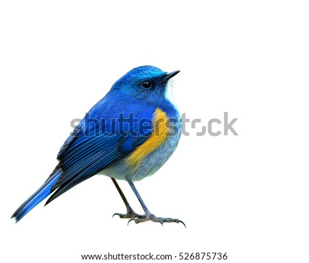 himalayan bluetail or orange...