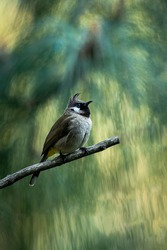 Himalayan bulbul or white cheeked bulbul bird portrait in natural green background at foothills of himalaya uttarakhand india
