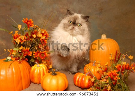 Himalayan Cat Sitting Among Pumpkins and Autumn Leaves