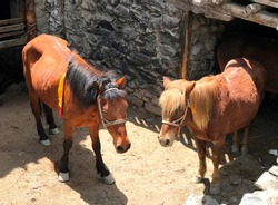 Himalayan cute brown horses in the stone stable, village Kagbeni, Upper Mustang, Nepal. Horses in Mustang region are raised primarily for transportation.One horse with light mane and another with dark