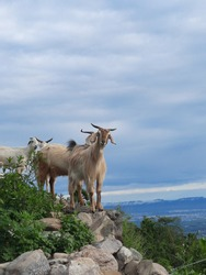 himalayan goats in the mountains