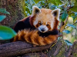 Himalayan red panda sitting on the branch of a tree in Darjeeling