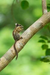 Himalayan striped squirrel, Burmese striped squirrel; Tamiops mcclellandii in nature habitats.