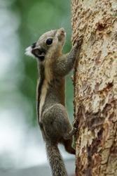 Himalayan striped squirrel climbing up a tree