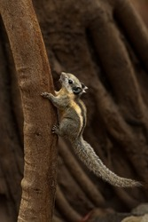 Himalayan striped squirrel climbing up a tree looking into a distance