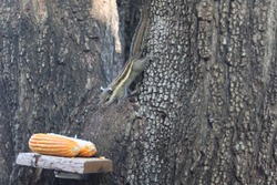 Himalayan striped squirrel eating corn on the tree.