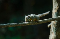 Himalayan striped squirrel or Burmese striped squirrel on the branch of tree