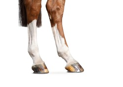 hind legs of chestnut horse detail isolated on white background