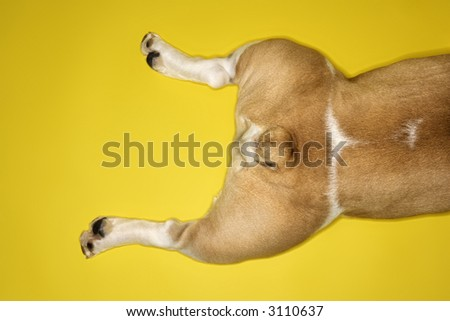 Hind legs of English Bulldog laying on yellow background.
