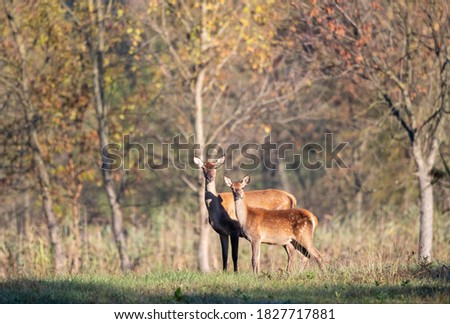 Hind (red deer female) with fawn standing in forest n front of trees. Wildlife in natural habitat Foto stock ©