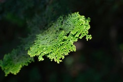 Hinoki cypress branch - Latin name - Chamaecyparis obtusa