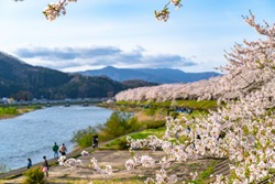 Hinokinai River riverbank in springtime cherry blossom season sunny day. Visitors enjoy the beauty full bloom pink sakura trees flowers. Town Kakunodate, Semboku District, Akita Prefecture, Japan