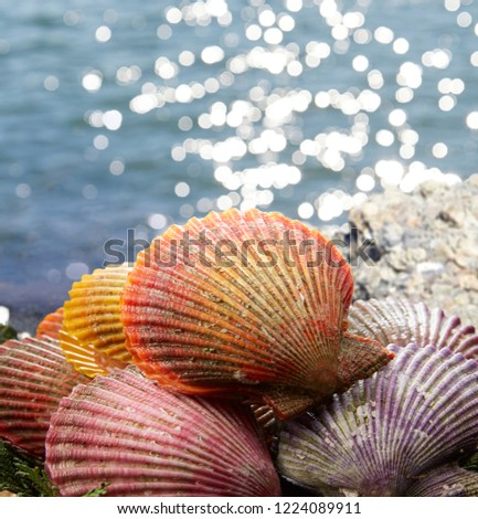 Hiougi Shellfish, Noble scallop, Chlamys nobilis,